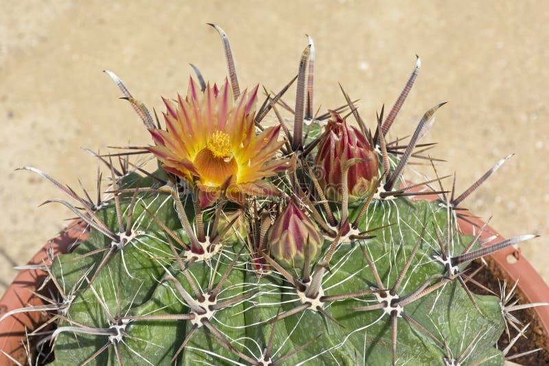 Cactus de barril de Arizona en la floración fotos de archivo libres de regalías