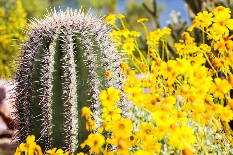 Cactus de barril de Arizona con los Wildflowers foto de archivo libre de regalías