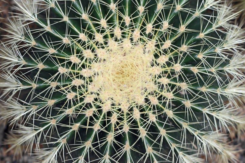 Cactus de barril de oro - Echinocactus Grusonii imagen de archivo