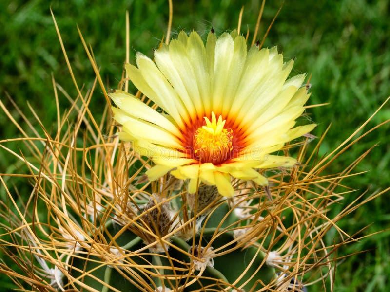 Cactus de capricorne d'Astrophytum avec la fleur jaune photo stock