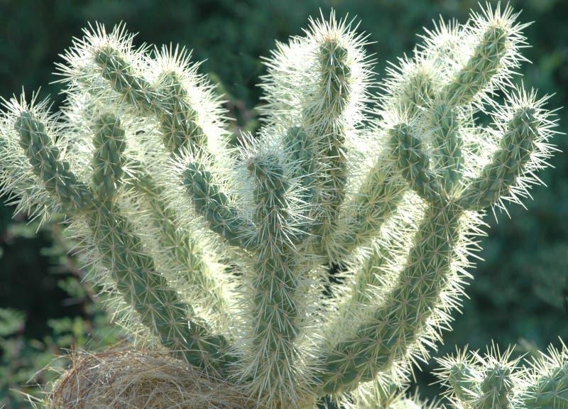 Cactus de désert photos libres de droits