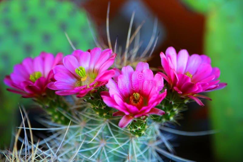 Cactus de floraison photo libre de droits