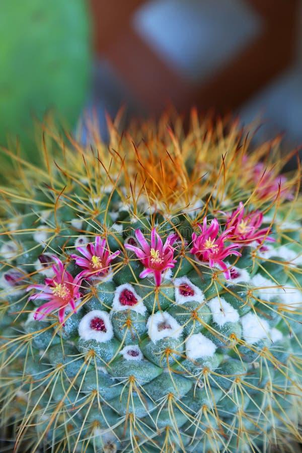 Cactus de floraison photos libres de droits