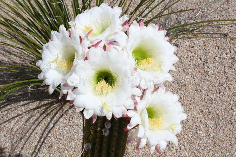 cactus de floraison photographie stock libre de droits
