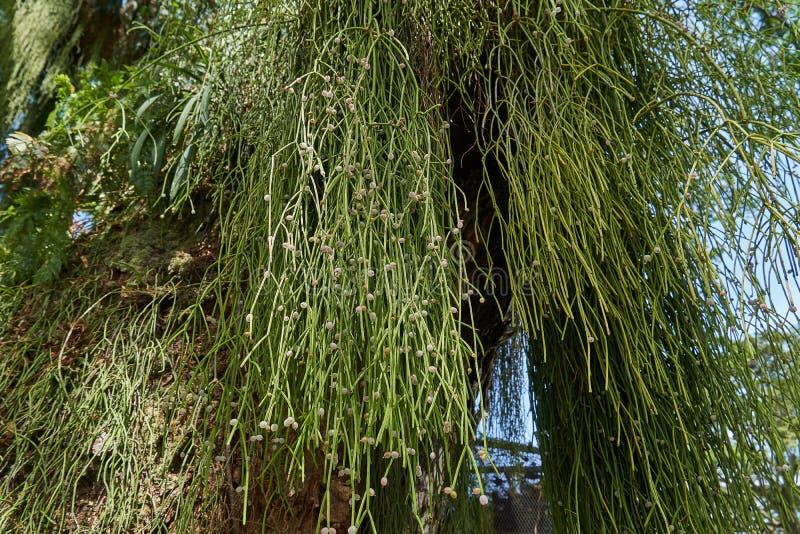 Cactus de gui de baccifera de Rhipsalis sur un grand arbre dans la forêt tropicale tropicale de la Guyane, Amérique du Sud images stock
