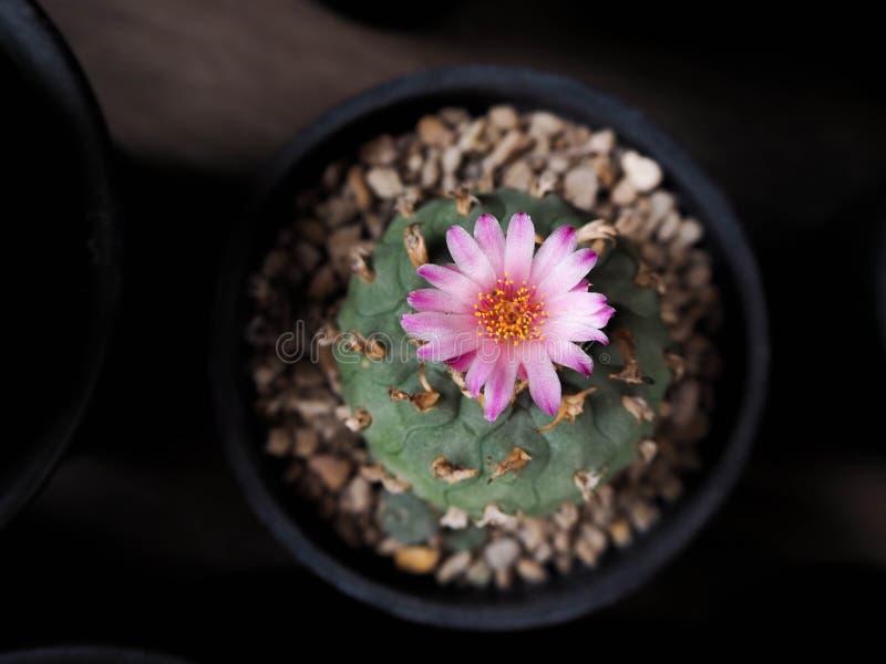 Cactus de jourdaniana de Lophophora images stock
