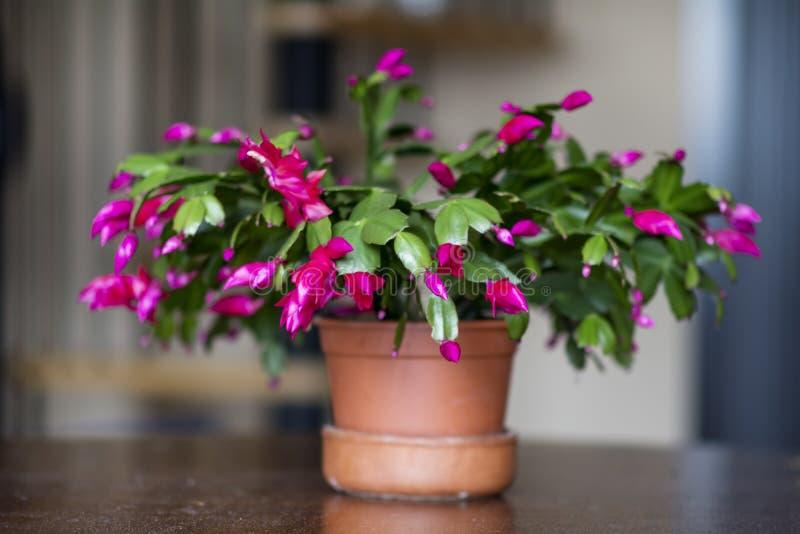 Cactus de la Navidad rosado hermoso en un pote de arcilla foto de archivo