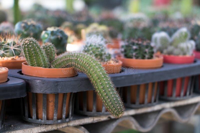 Cactus de la oferta en cultivar un huerto fotografía de archivo libre de regalías