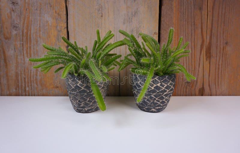 Cactus de la planta de la casa de Minimalistic en mini potes de piedra en el fondo blanco y de madera con el espacio de la copia  imagenes de archivo