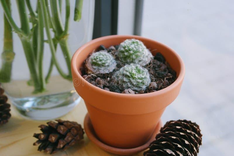 Cactus de la planta en un pote fotos de archivo libres de regalías