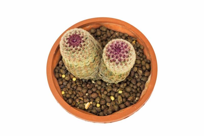 Cactus de la visión superior en el pote aislado en el fondo blanco imágenes de archivo libres de regalías