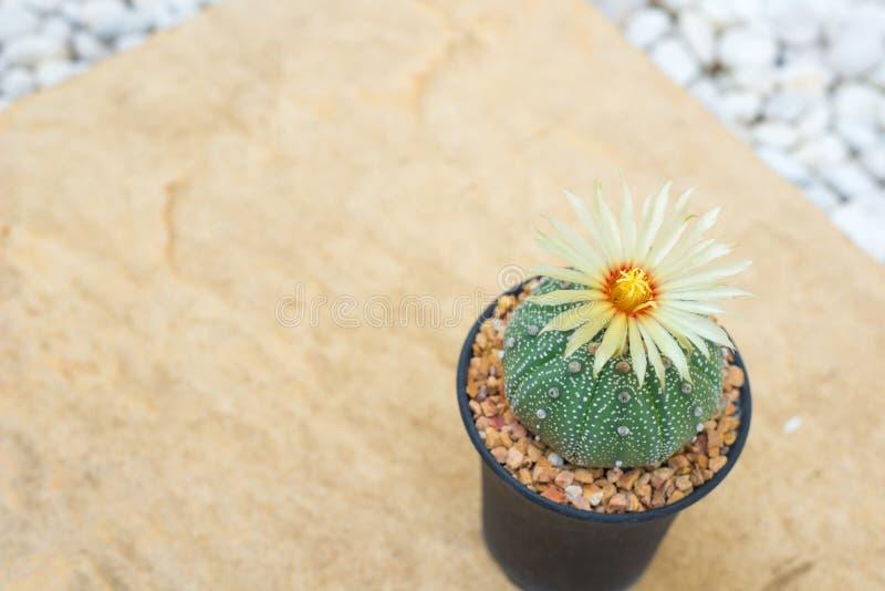 Cactus de los asterias de Astrophytum con la flor en pote en la piedra anaranjada f fotografía de archivo