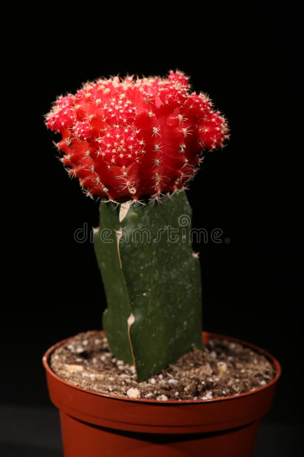 Cactus de lune photo stock