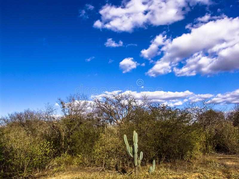 Cactus de Mandacaru photo stock