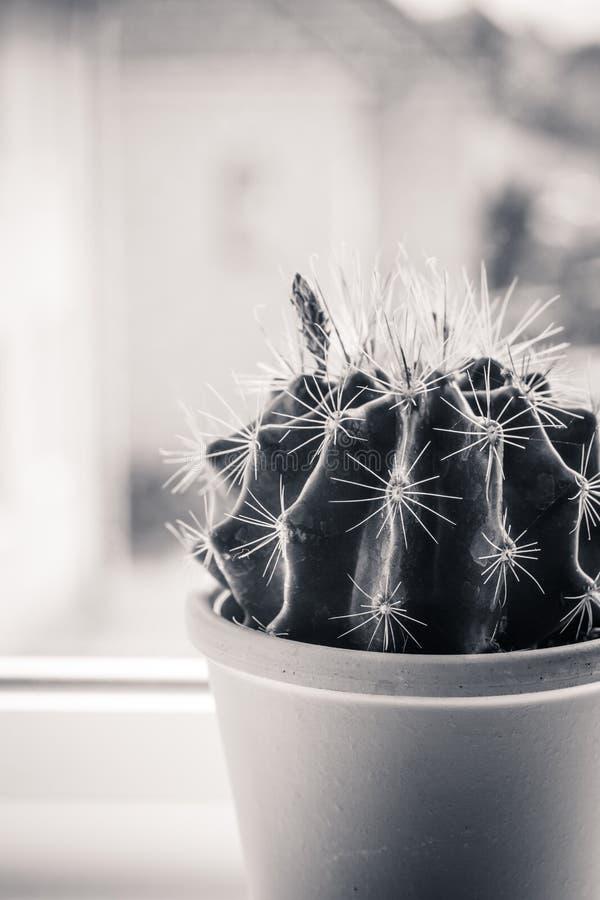 Cactus de moda en el travesaño de la ventana, cierre encima del tiro foto de archivo