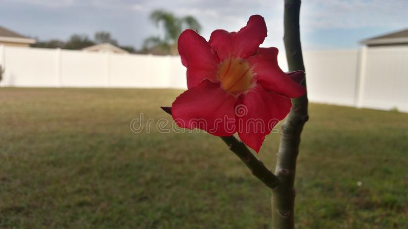 Cactus de Noël rouge dans Bartow, FL photo stock