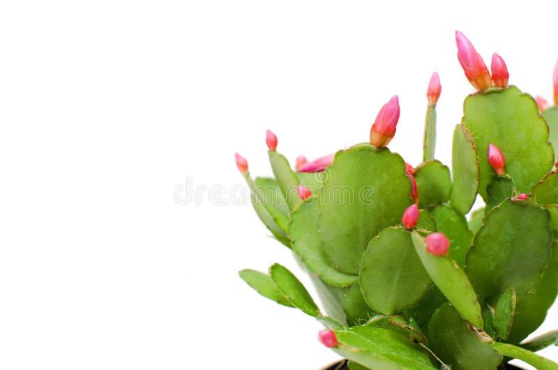 Cactus de Noël rouge vibrant photographie stock libre de droits