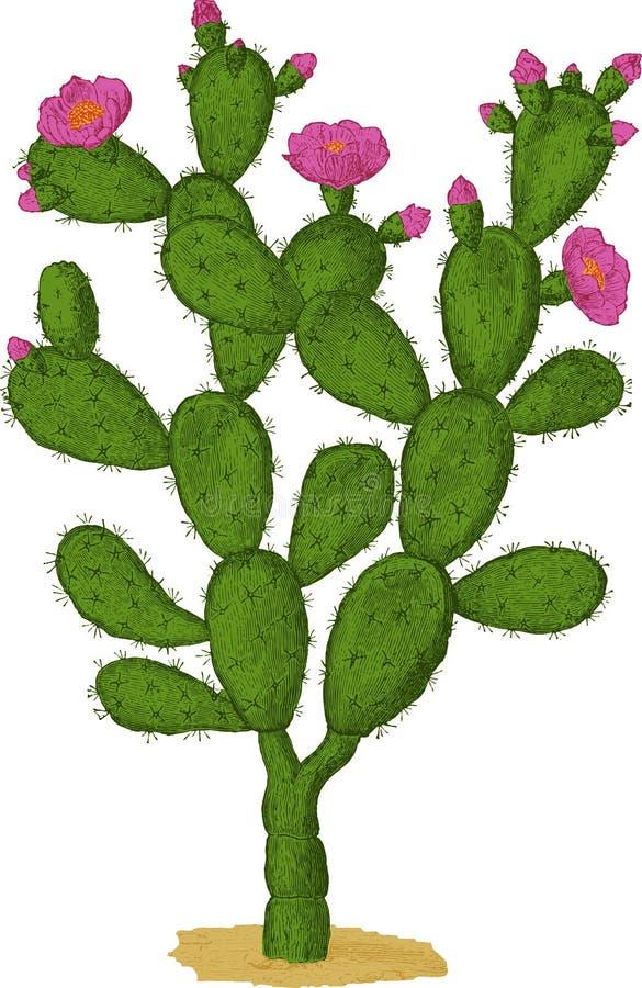 Cactus de Optunia. Vector libre illustration