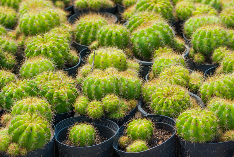 Cactus de oro de la bola imagen de archivo