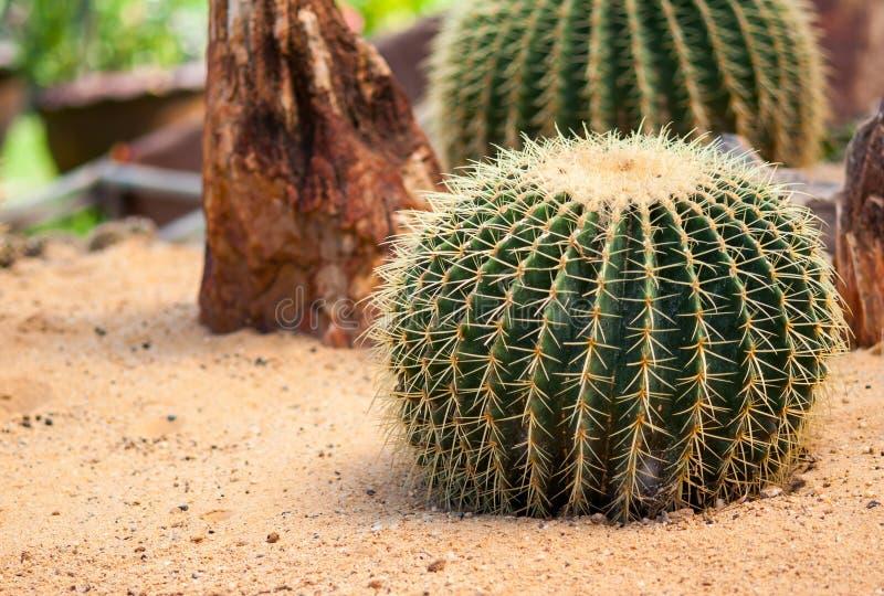 Cactus de oro de la bola fotos de archivo