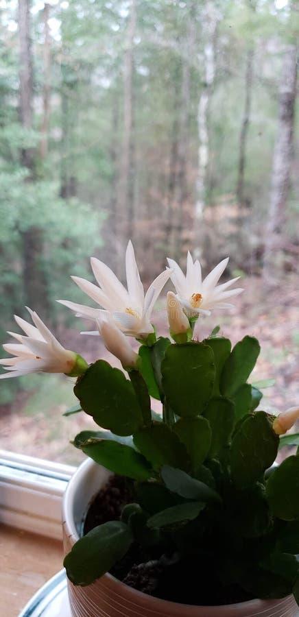 Cactus de pascua precioso imagenes de archivo