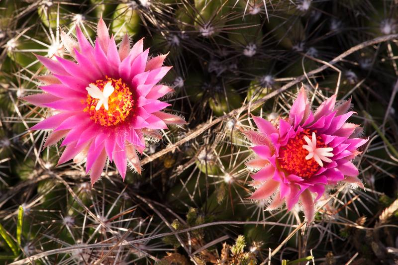 Cactus de pelote à épingles pendant le début de la matinée à la grande pierre NWR photo libre de droits