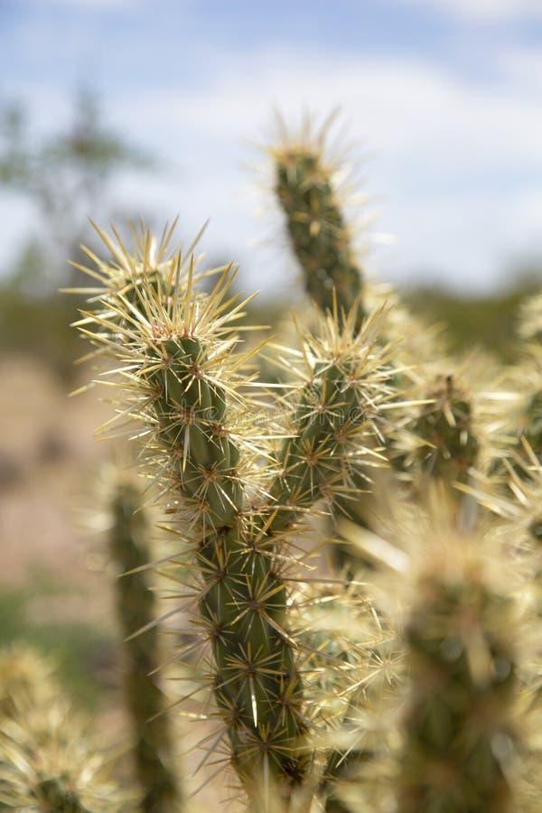 Cactus de plan rapproch? photo libre de droits