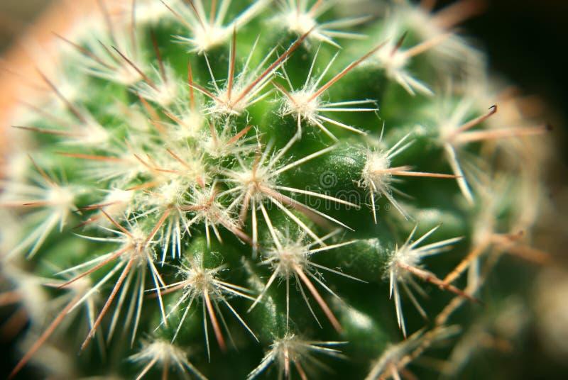 Cactus de plata de las flechas foto de archivo