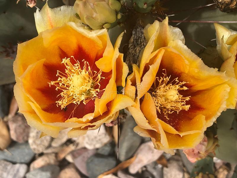 Cactus de poire photographie stock libre de droits