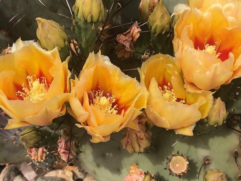 Cactus de poire photographie stock