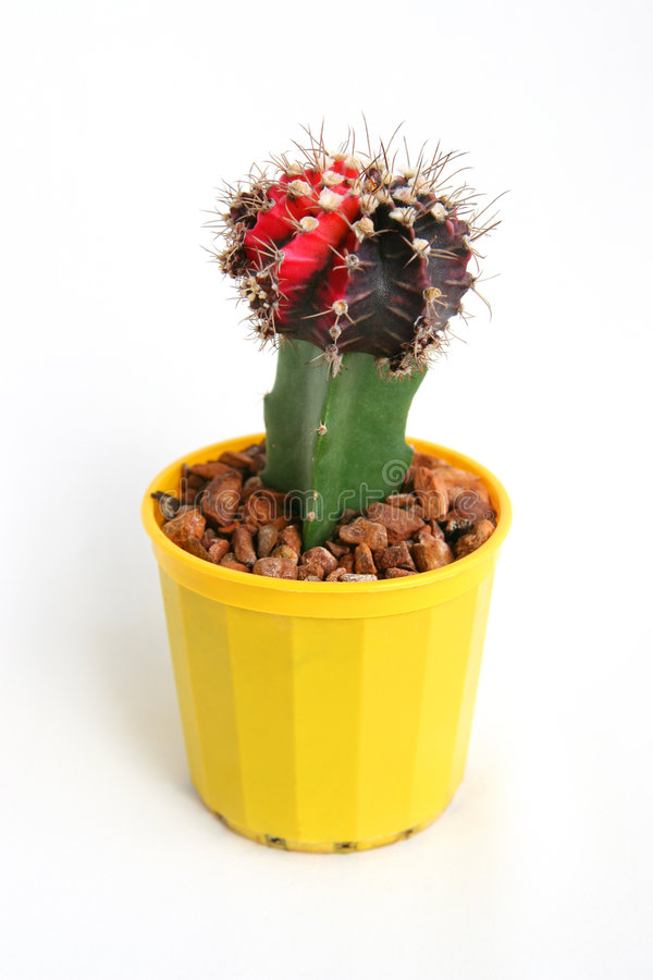 Cactus in de pot stock fotografie