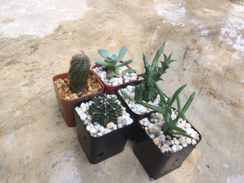 Cactus de riego en el pote fotografía de archivo libre de regalías