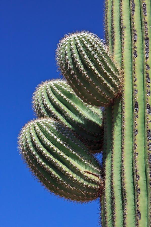 Cactus de Saguaro images libres de droits