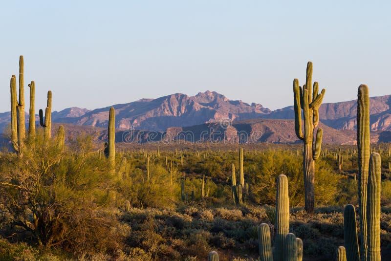 Cactus de Saguaro - bras enlacés image stock