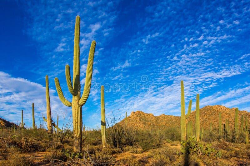 Cactus de Saguaro - bras enlacés images libres de droits