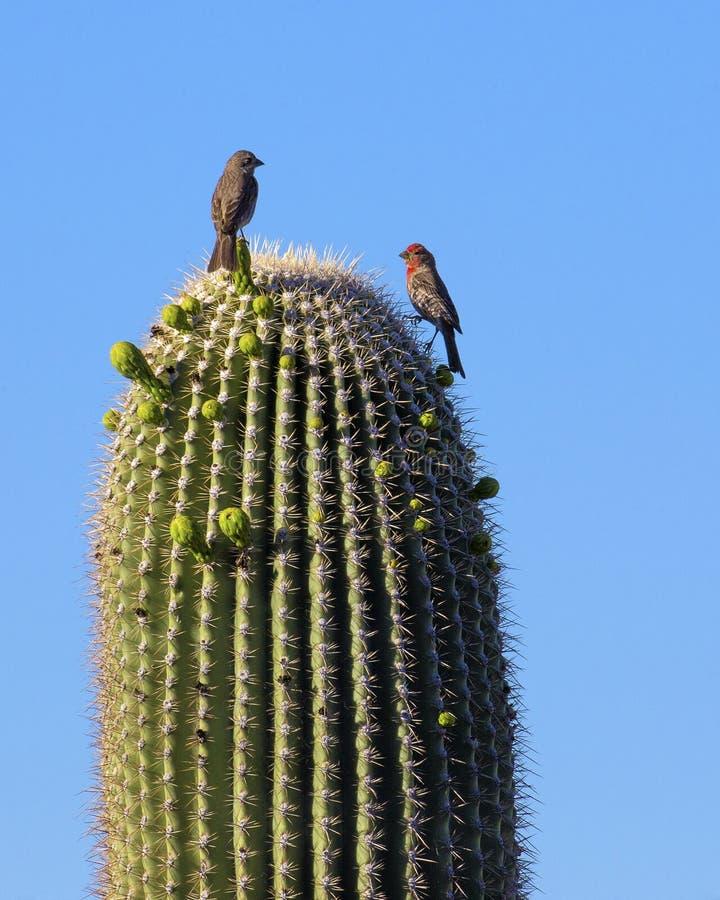 Cactus de Saguaro - bras enlacés photographie stock libre de droits