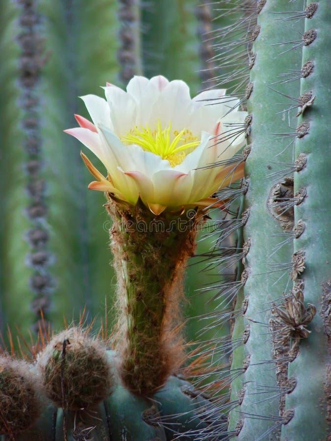 Cactus de Saguaro - bras enlacés photos stock