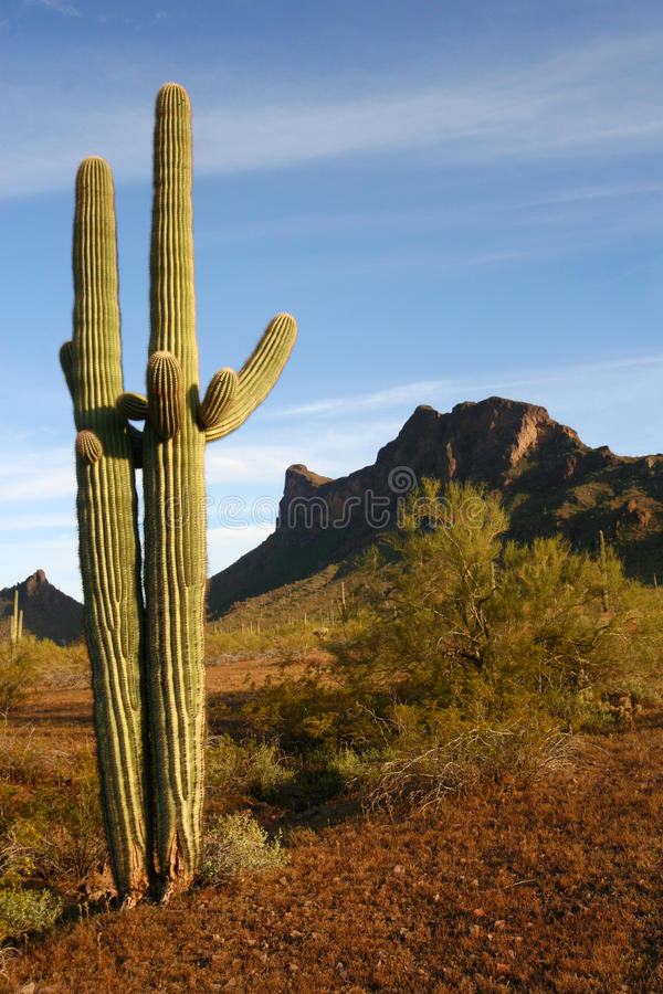 Cactus de Saguaro, désert de sonoran au lever de soleil photo libre de droits