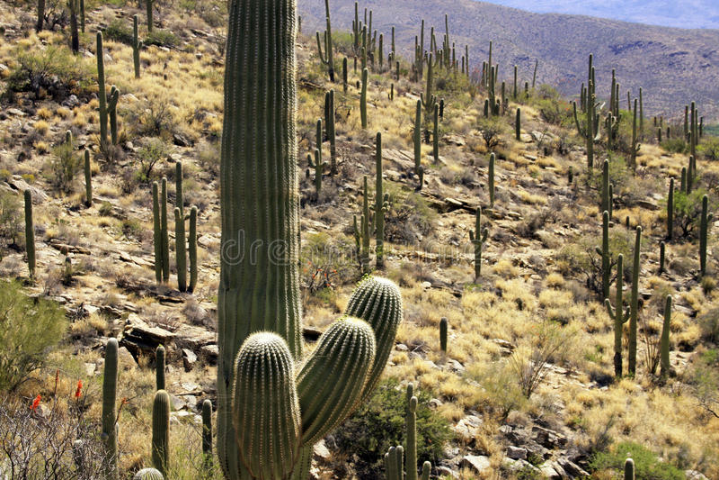 Cactus de Saguaro de l'Arizona méridional image libre de droits