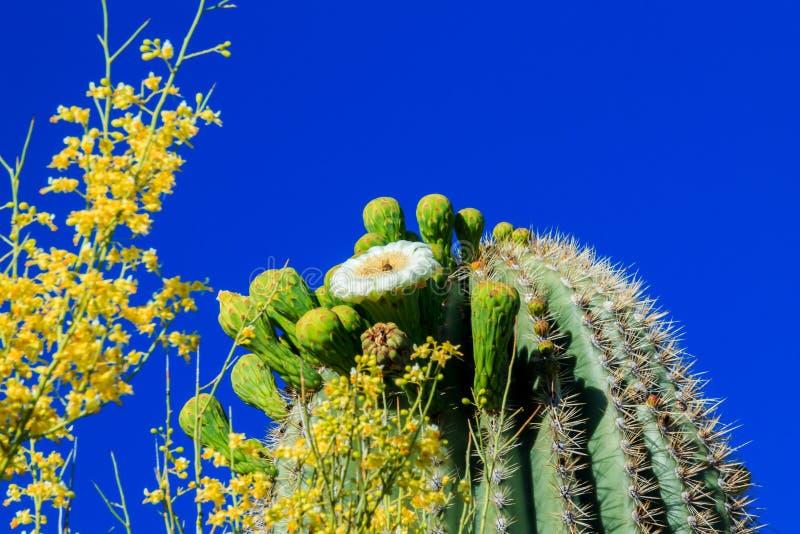 Cactus de Saguaro en fleur, Arizona image stock