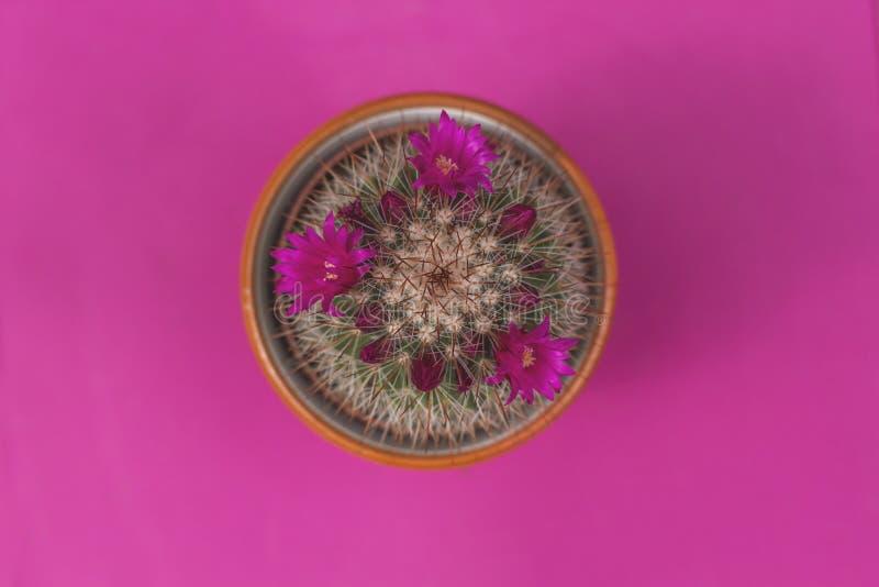 Cactus de spinosissima de Mammillaria avec les fleurs roses photos libres de droits
