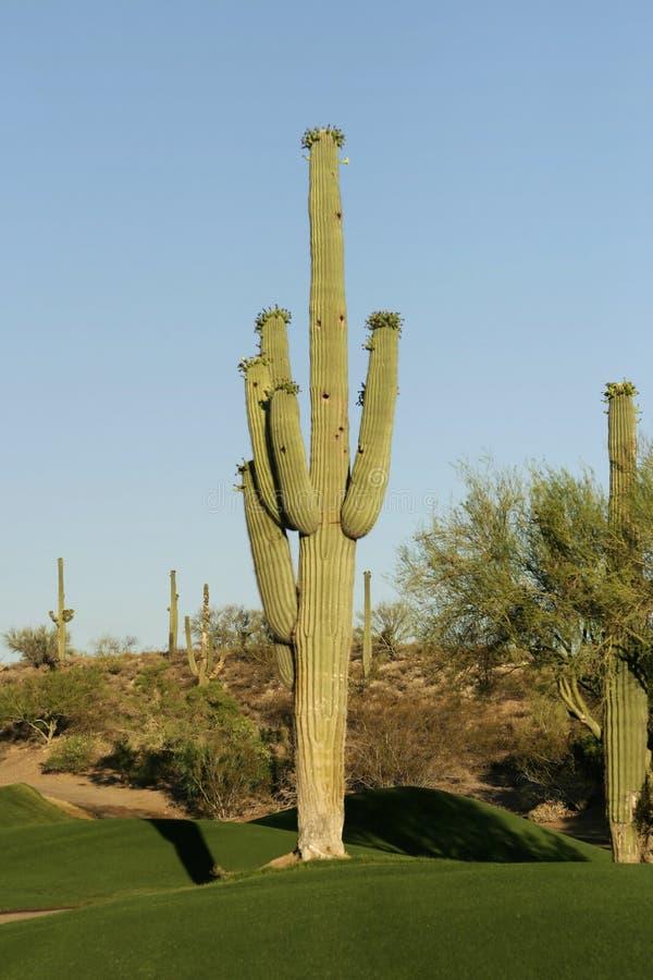Cactus de terrain de golf photos libres de droits