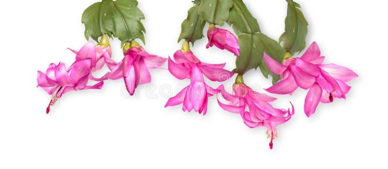 Cactus de thanksgiving images stock