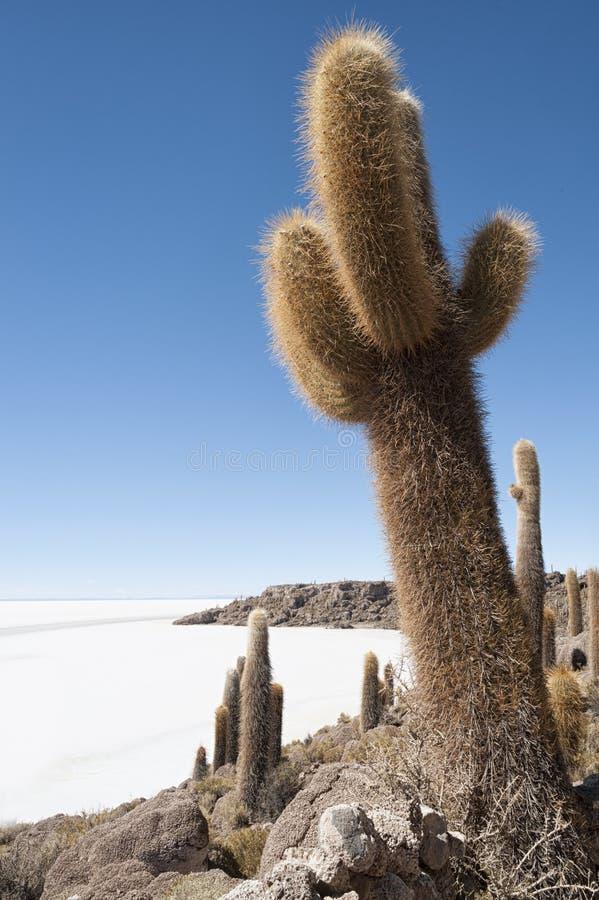 Cactus de Trichoreceus en Isla Incahuasi - Isla del Pescado- en el medio del llano más grande Salar de Uyuni, Bolivia de la sal d imagen de archivo