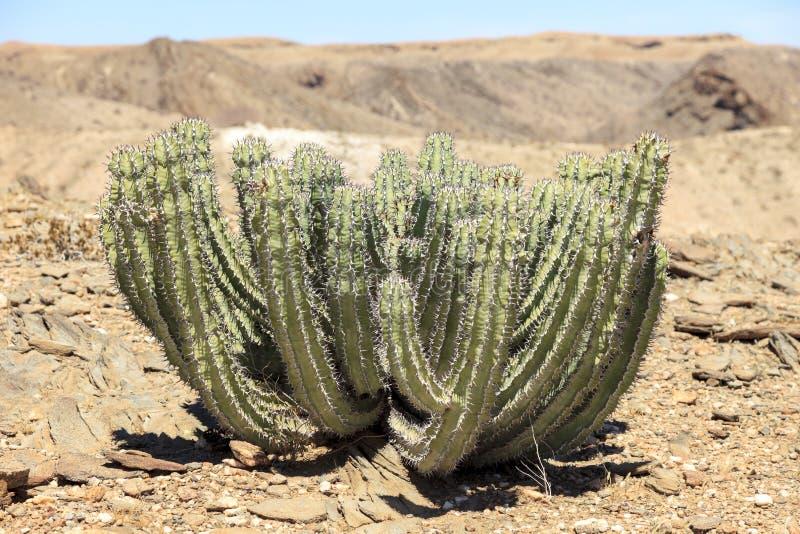 Cactus in de woestijn stock foto's