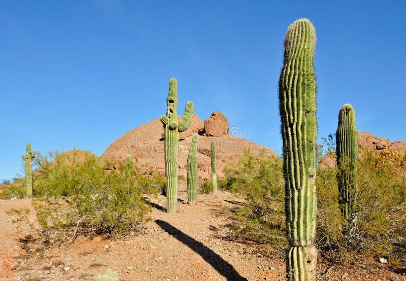 Cactus in de woestijn van Arizona stock fotografie