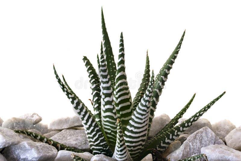 Cactus de z?bre photographie stock