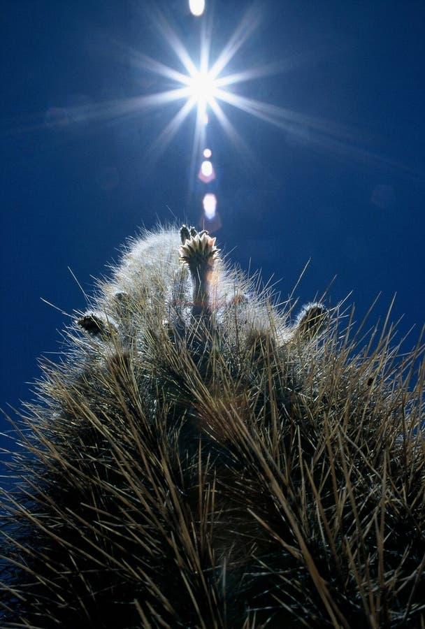 Cactus in de zon royalty-vrije stock fotografie