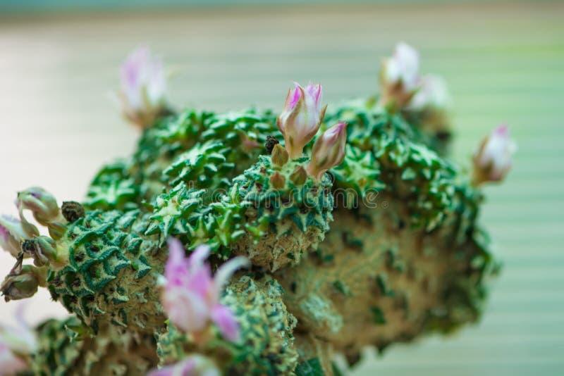 Cactus del Ariocarpus con il fiore fotografia stock libera da diritti