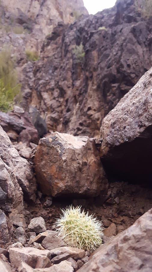 Cactus del bambino fotografie stock libere da diritti